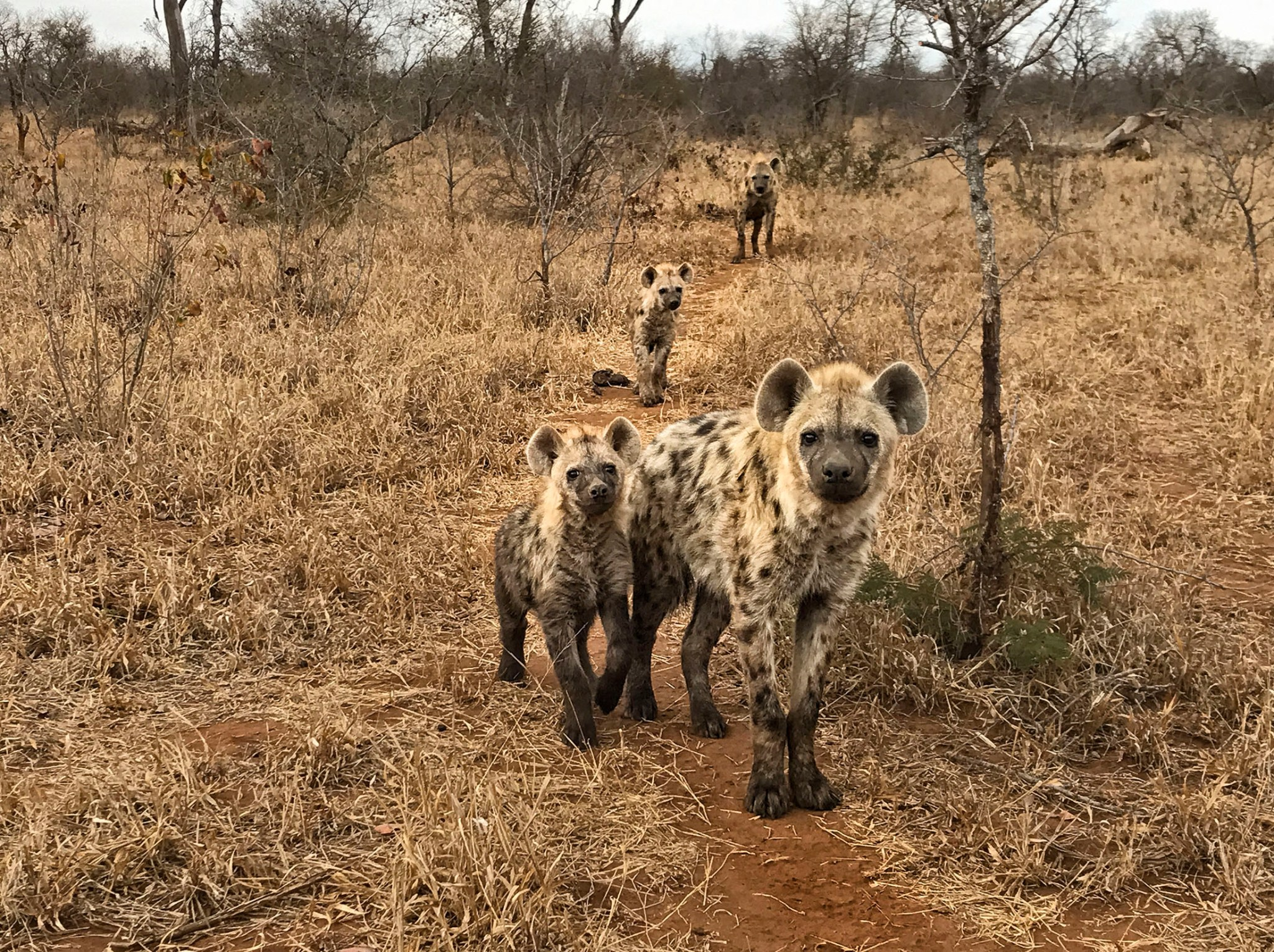 Photo of hyenas