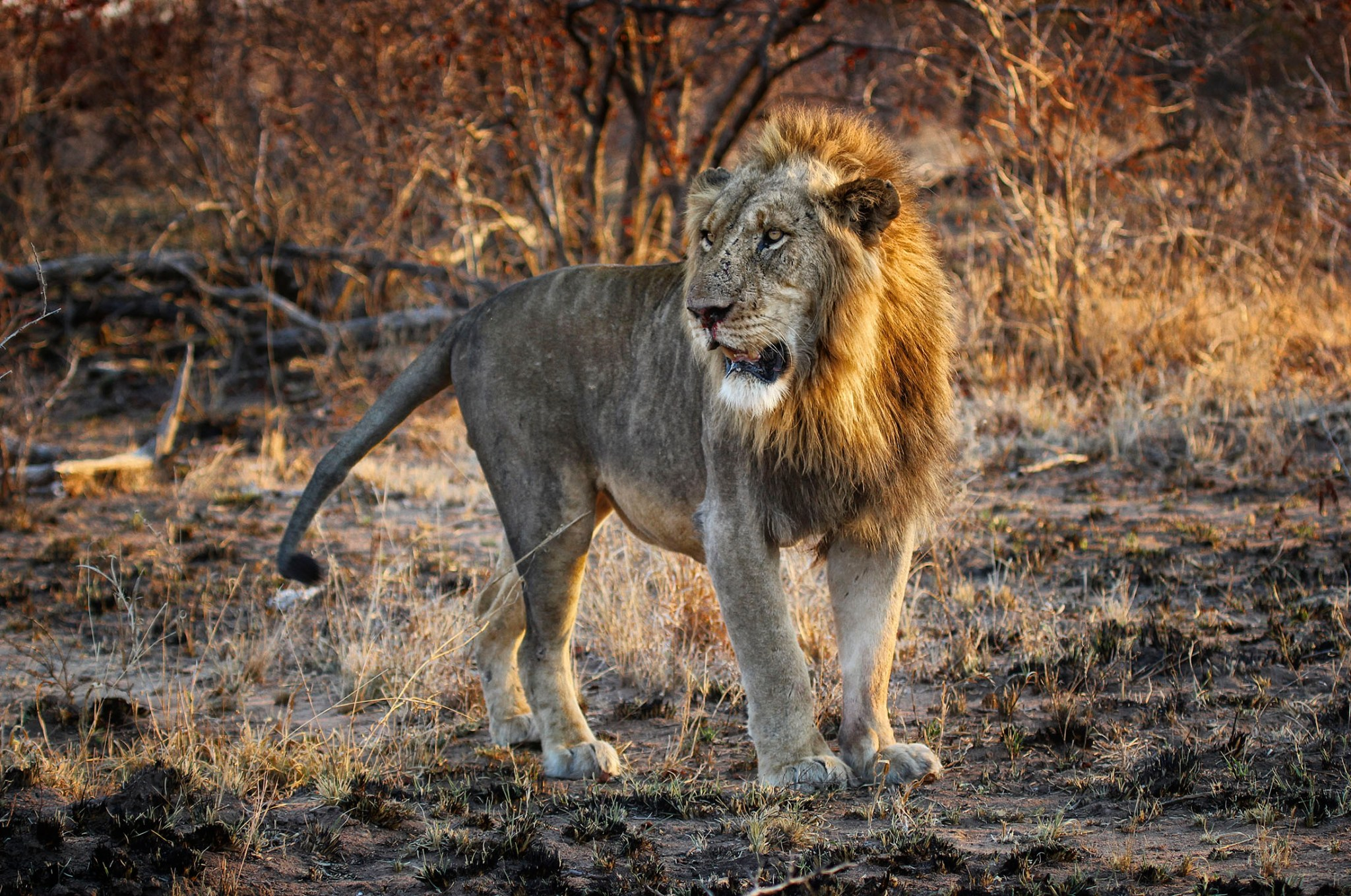 Photo of a male lion