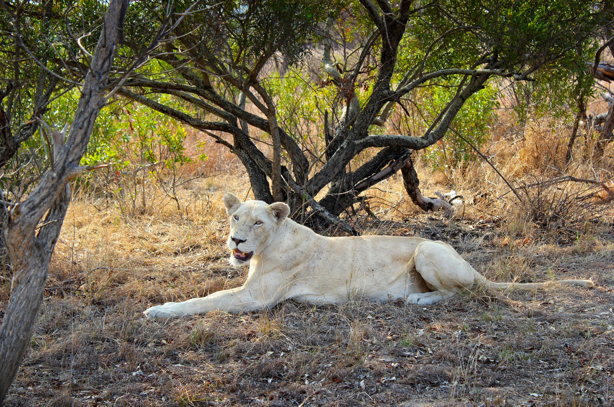 White queen of the Timbavati